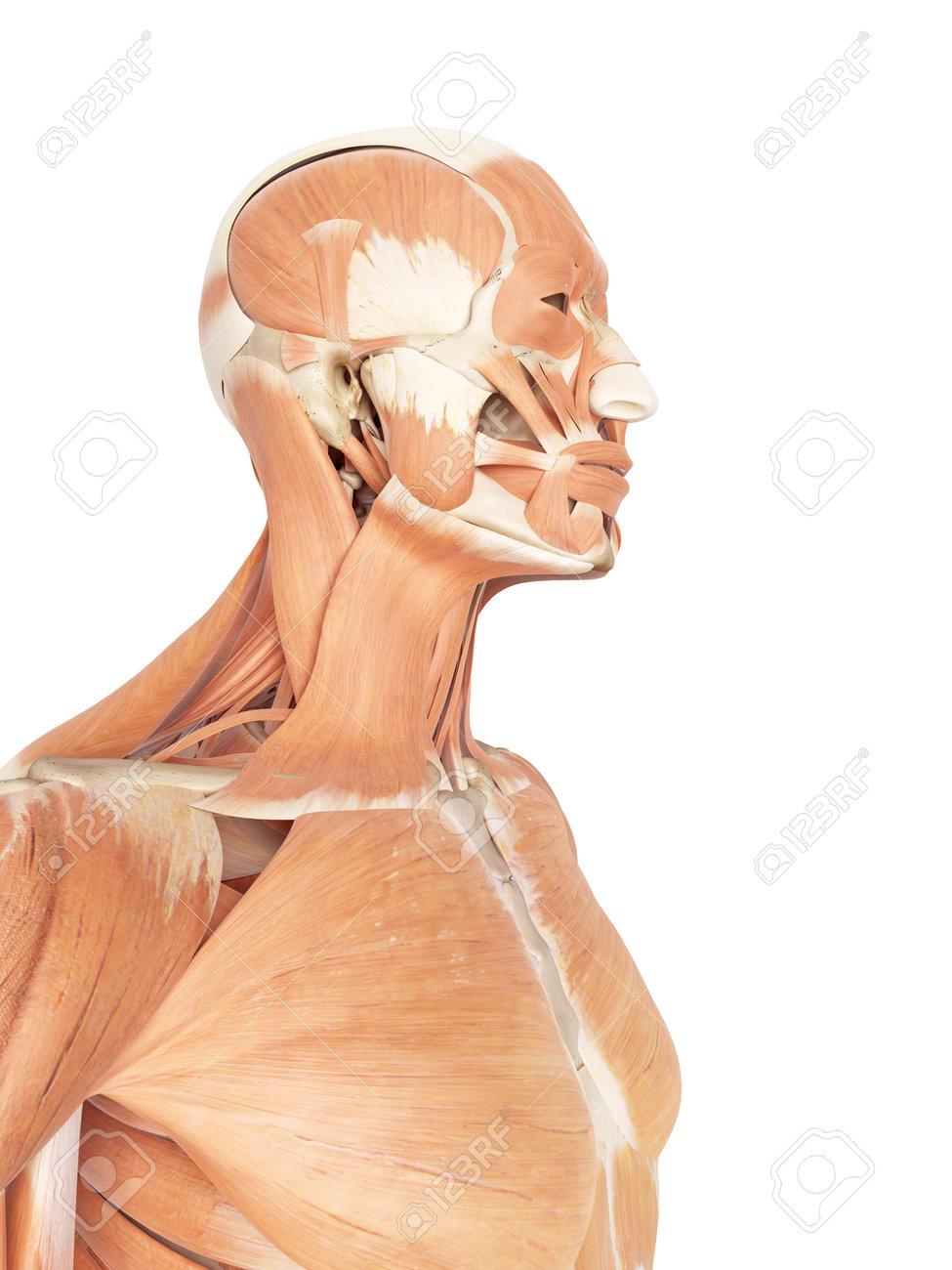 Ilustración Médica Precisa De Los Músculos Del Cuello Y La Garganta ...