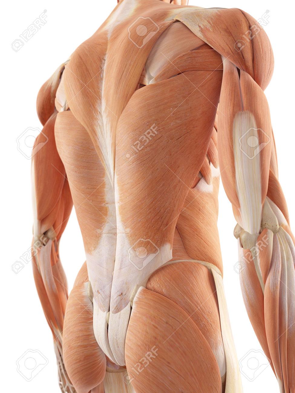 Ilustración Médica Precisa De Los Músculos De La Espalda Fotos ...
