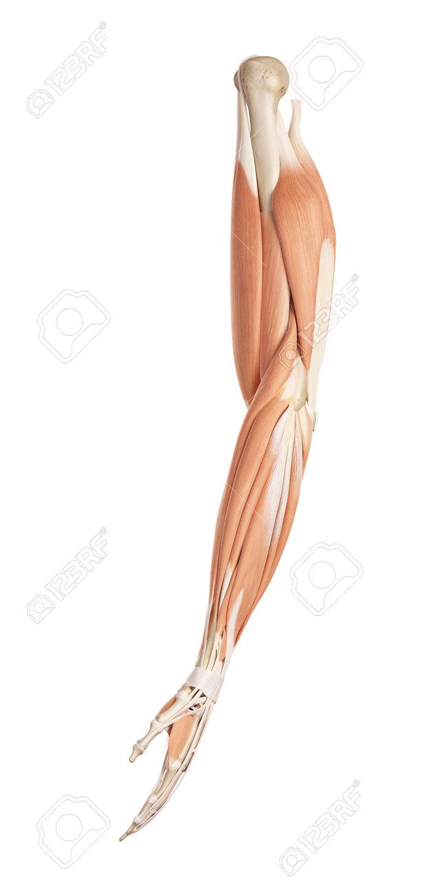 腕の筋肉の医療の正確なイラスト の写真素材画像素材 Image 42219693