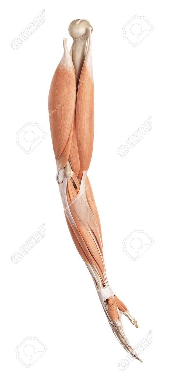 腕の筋肉の医療の正確なイラスト の写真素材画像素材 Image 42219777