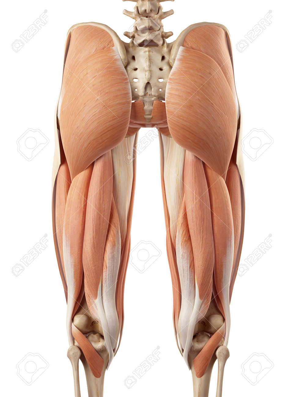 Medical Accurate Illustration Of The Upper Leg Muscles Stock Photo