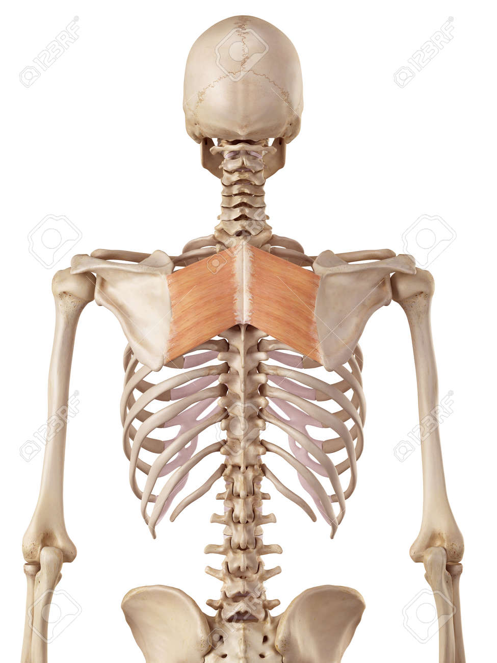 medical accurate illustration of the rhomboid major stock photo