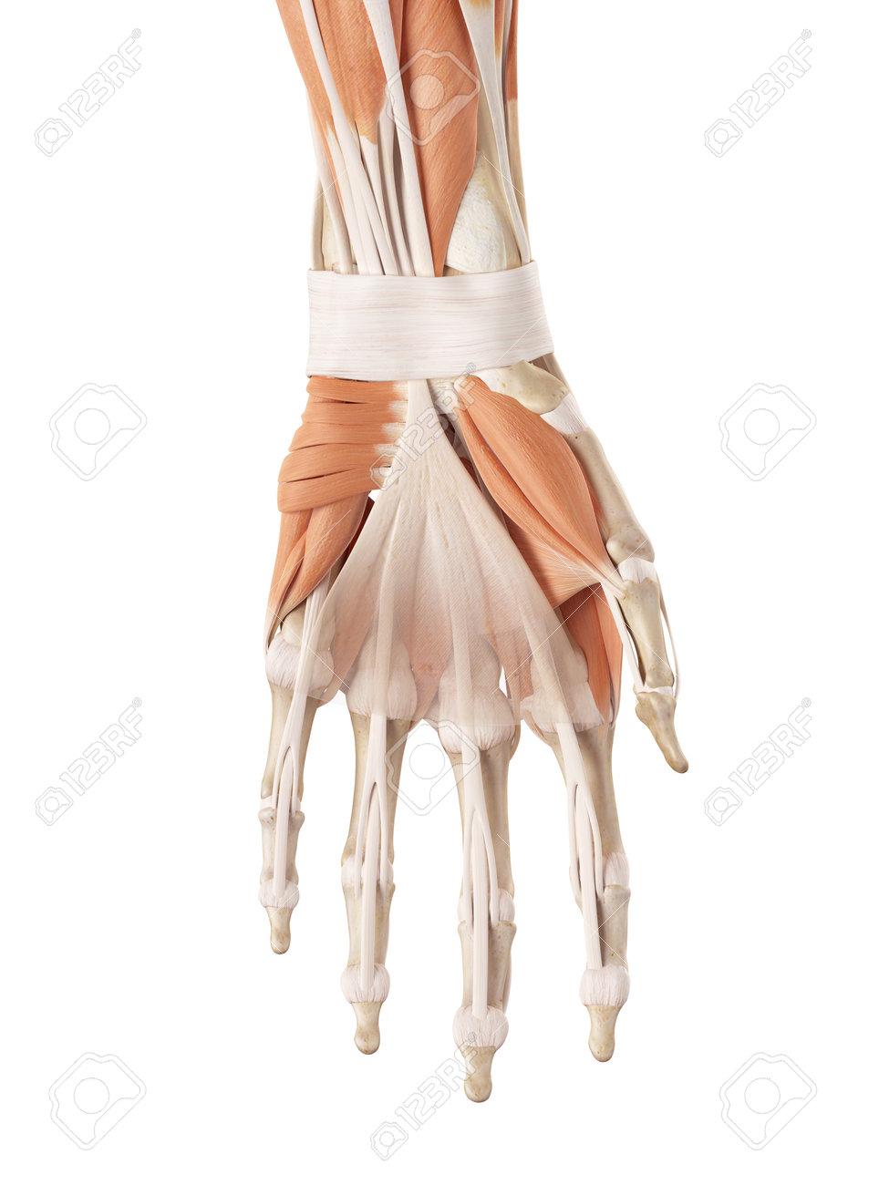 Nett Hand Sehnen Ideen - Anatomie Und Physiologie Knochen Bilder ...