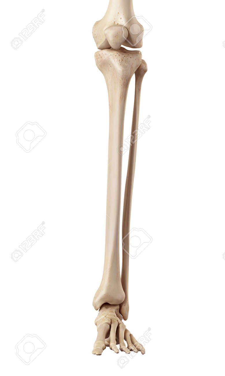Medical Accurate Illustration Of The Lower Leg Bones Stock Photo ...