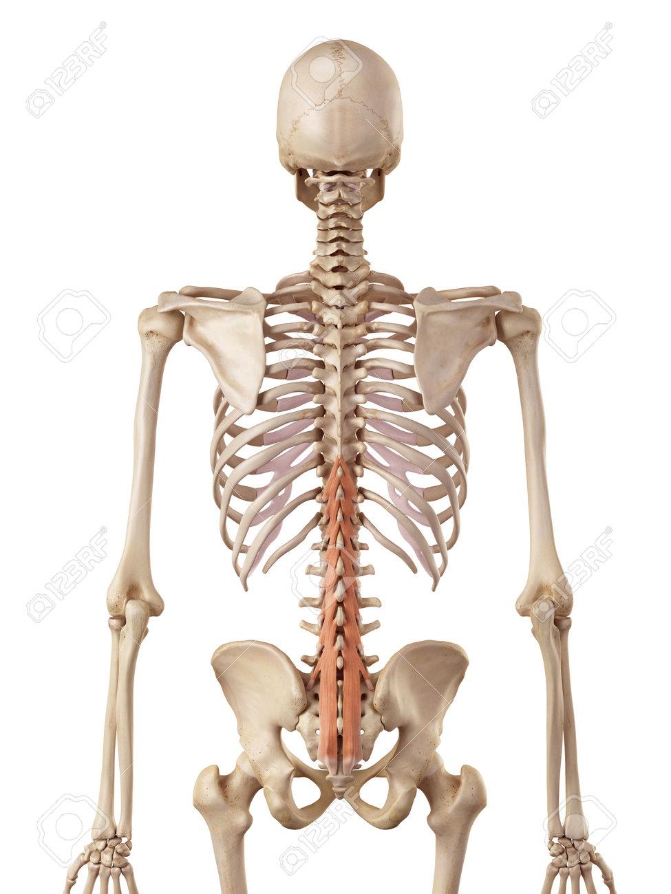 多裂筋の正確な医療のイラスト ...