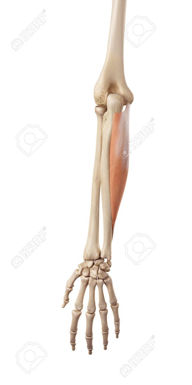 medical accurate illustration of the flexor carpi ulnaris stock