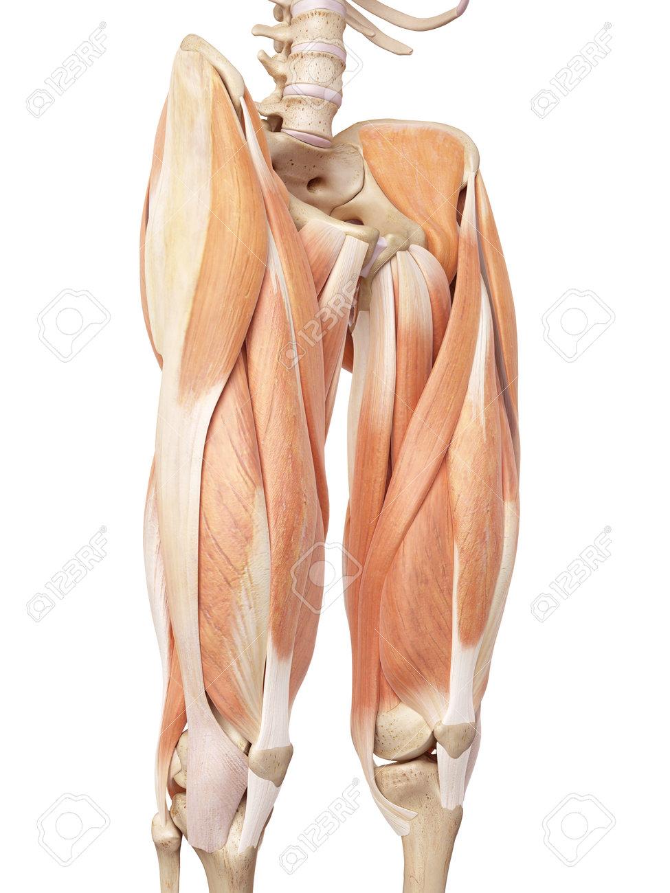 Thigh Bone Stock Photos. Royalty Free Thigh Bone Images