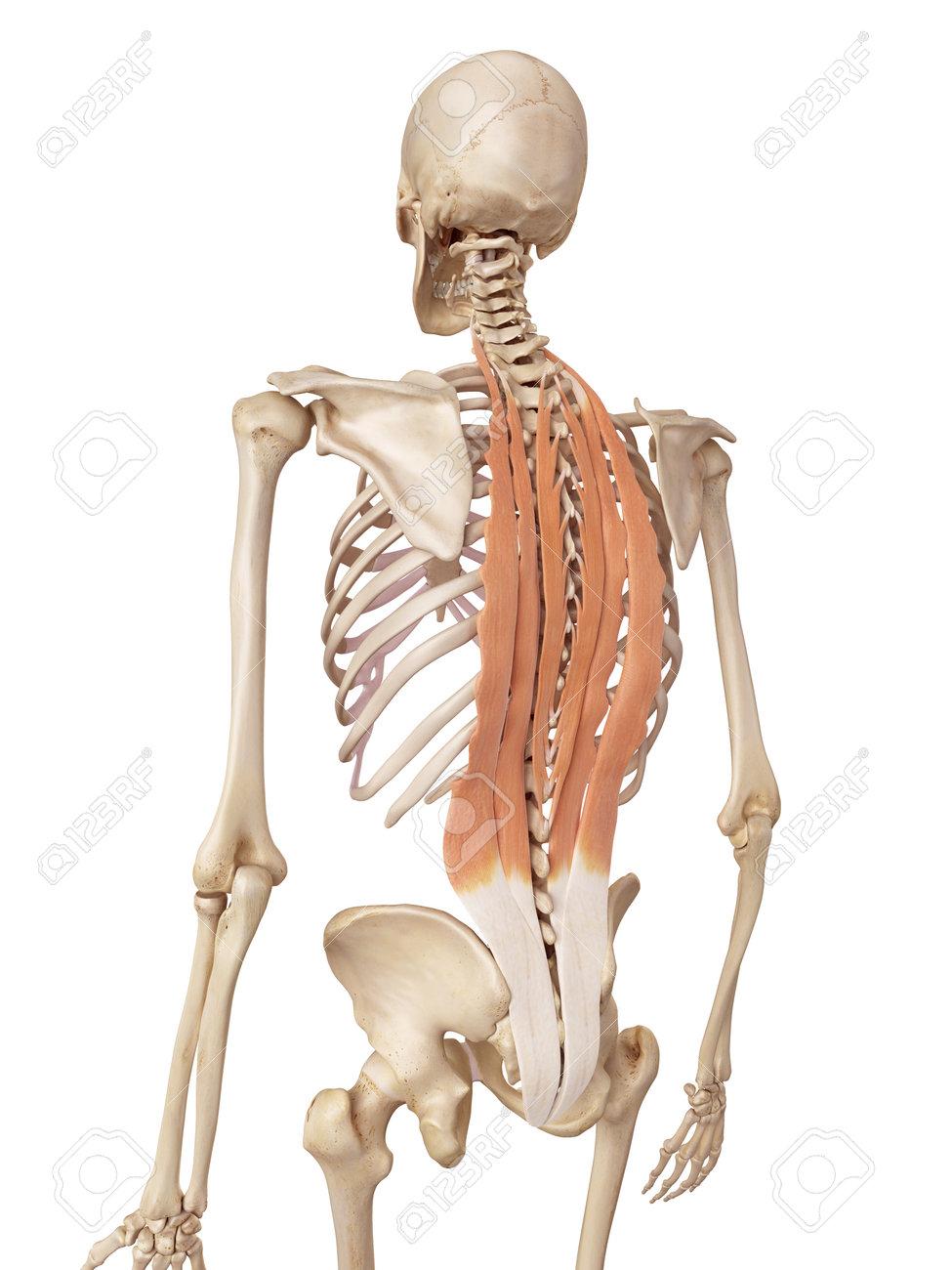 Großartig Bild Der Menschlichen Rückenmuskulatur Galerie - Anatomie ...