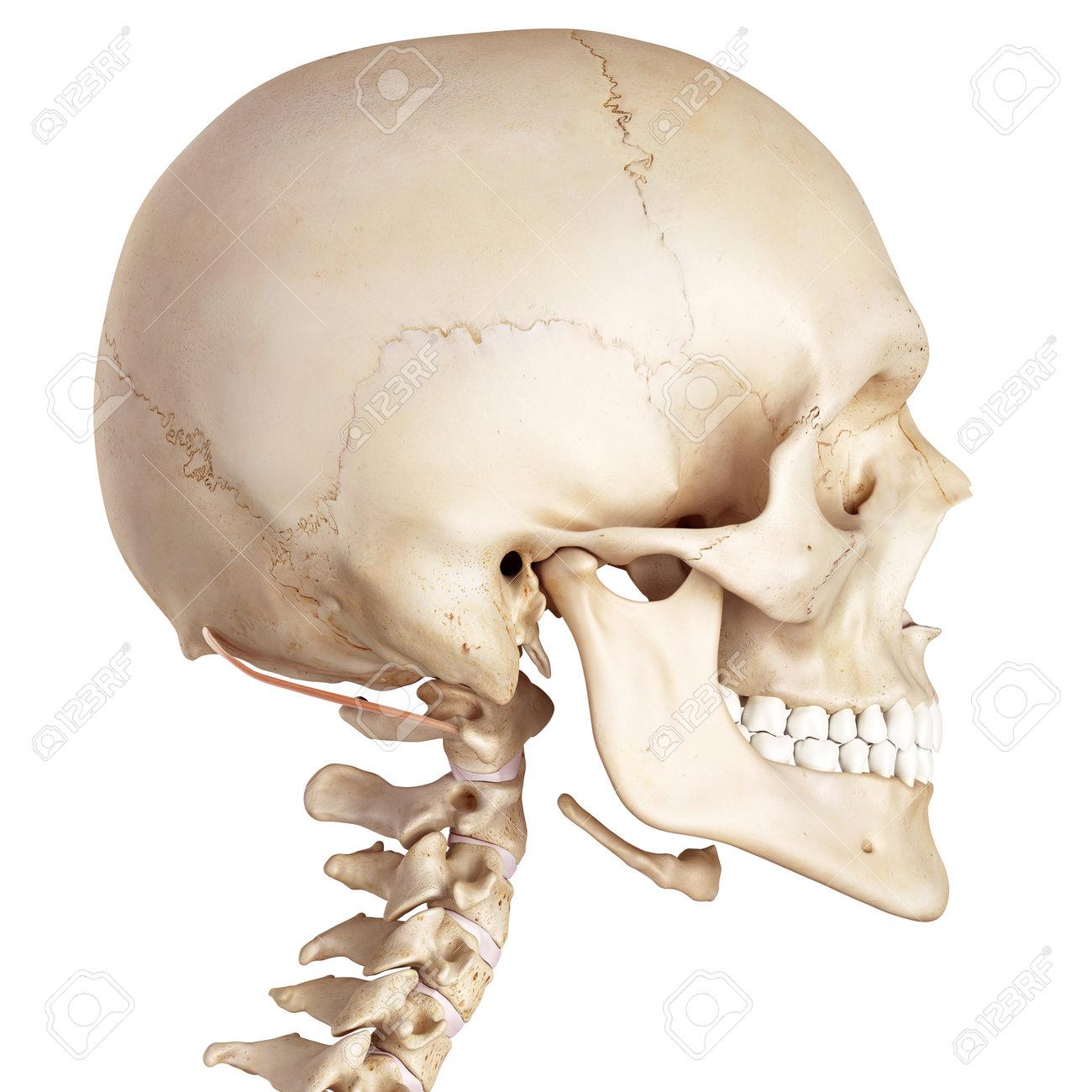 Ziemlich Kennzeichnung Anatomie Und Physiologie Schädel ...