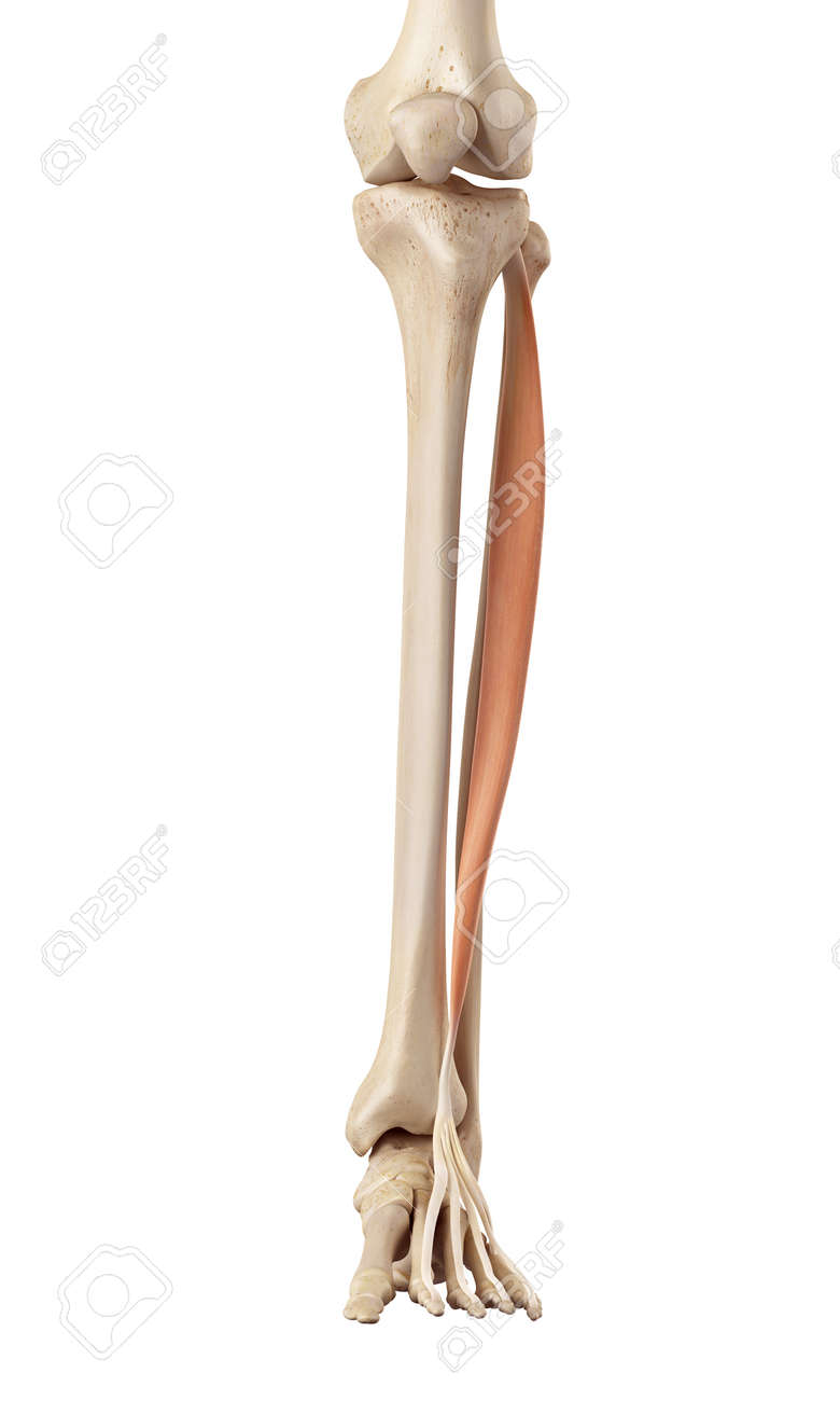 Medical Accurate Illustration Of The Extensor Digitorum Longus Stock