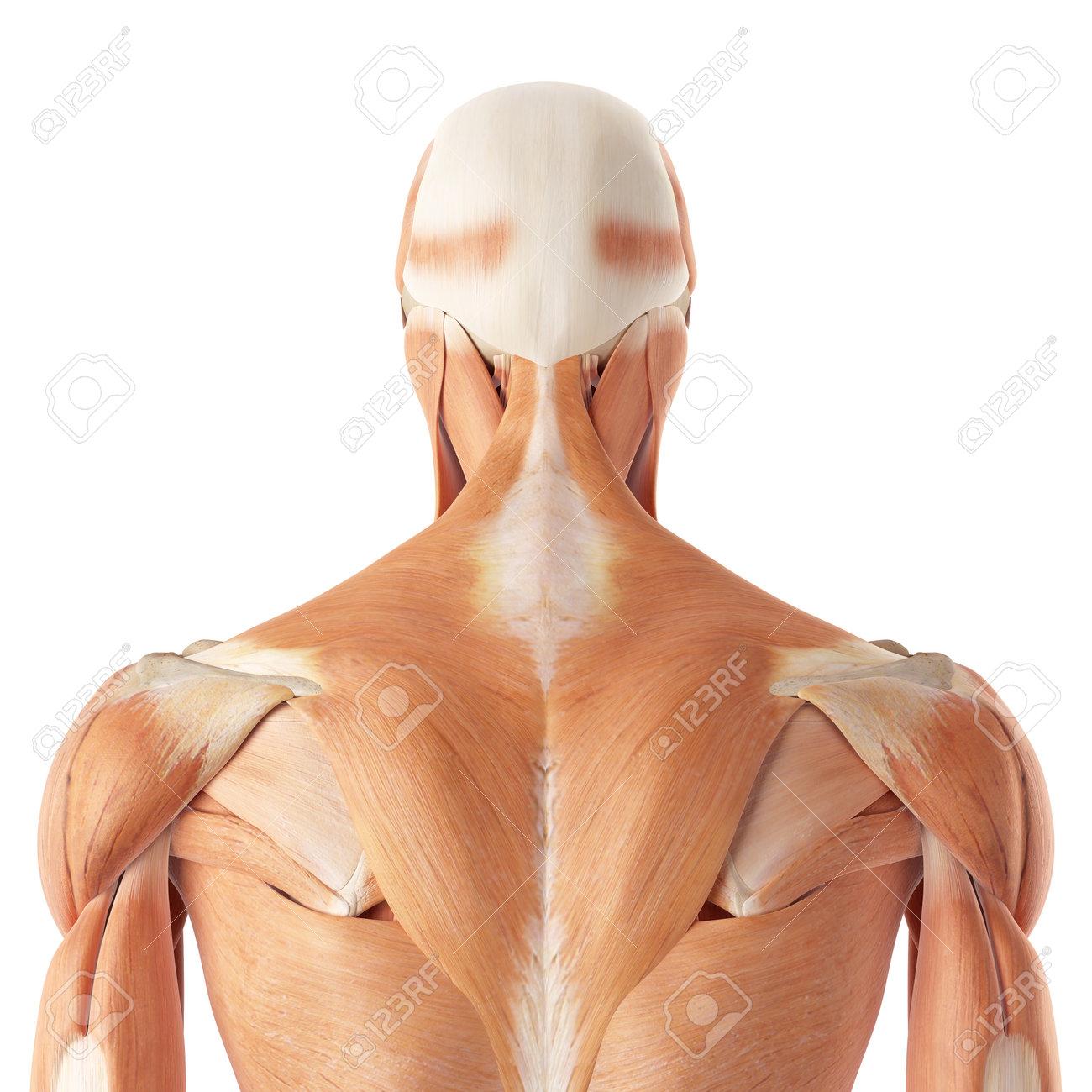 Ilustración Médica Precisa De Los Músculos Superiores De La Espalda ...