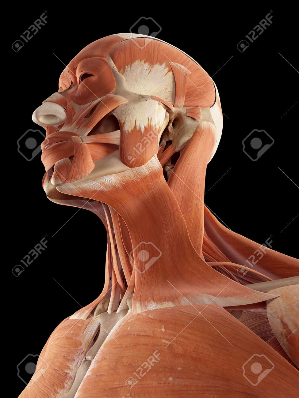 Medical Accurate Illustration Of The Head And Neck Muscles Stock