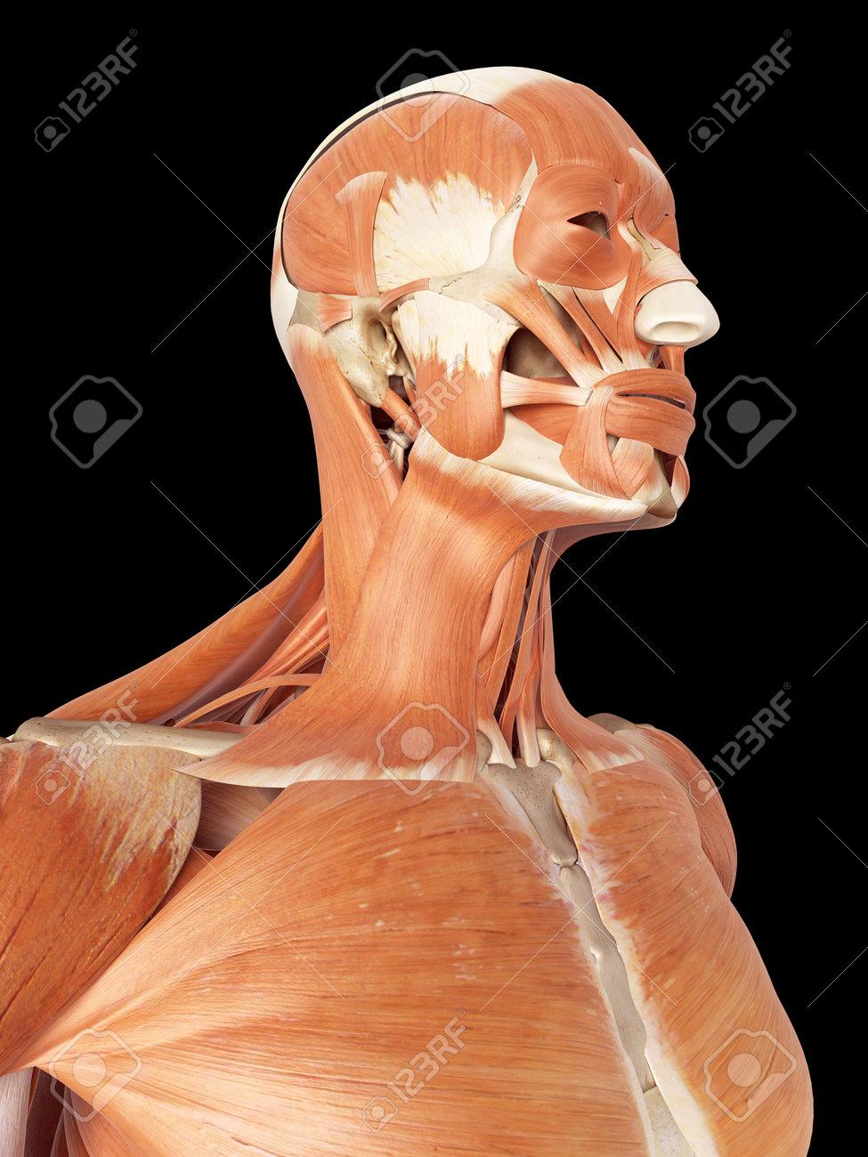 Famoso Diagrama De La Anatomía Cabeza Bandera - Imágenes de Anatomía ...