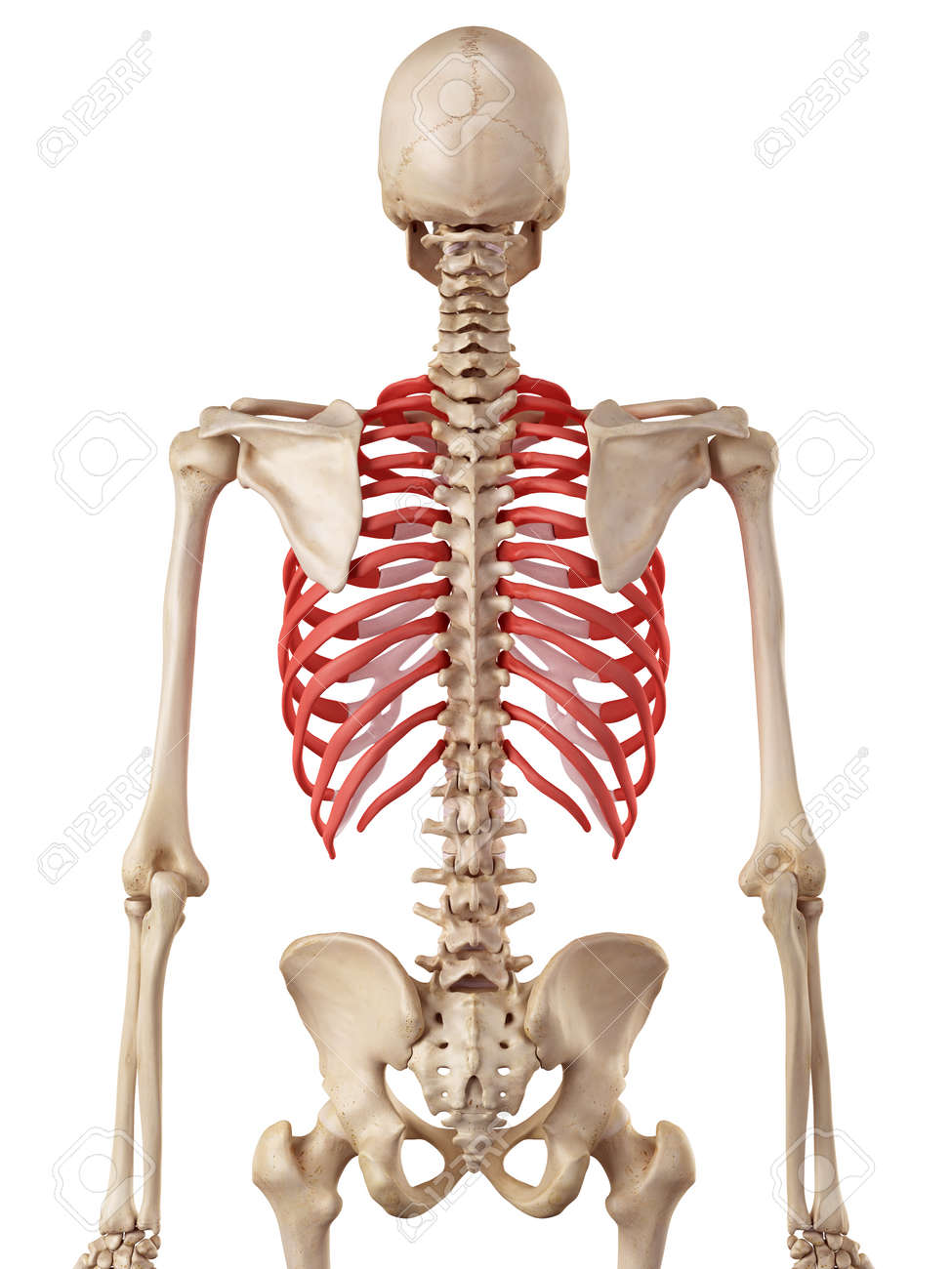 Medical Accurate Illustration Of The Rib Cage Stock Photo Picture