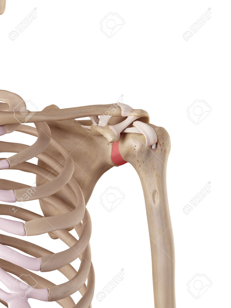 Medical Accurate Illustration Of The Glenohumeral Ligament Stock ...
