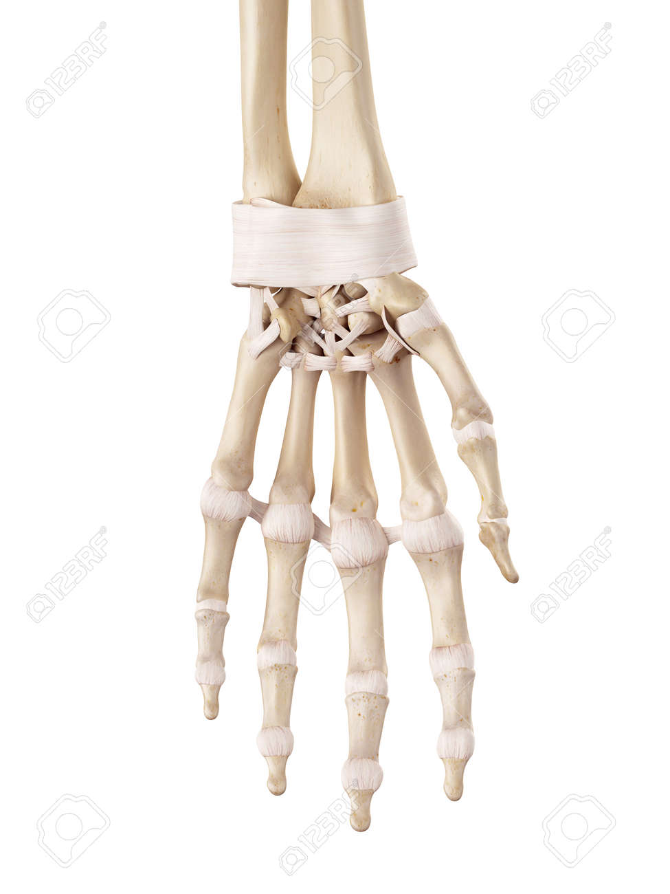 Medical Accurate Illustration Of The Hand Ligaments Stock Photo ...