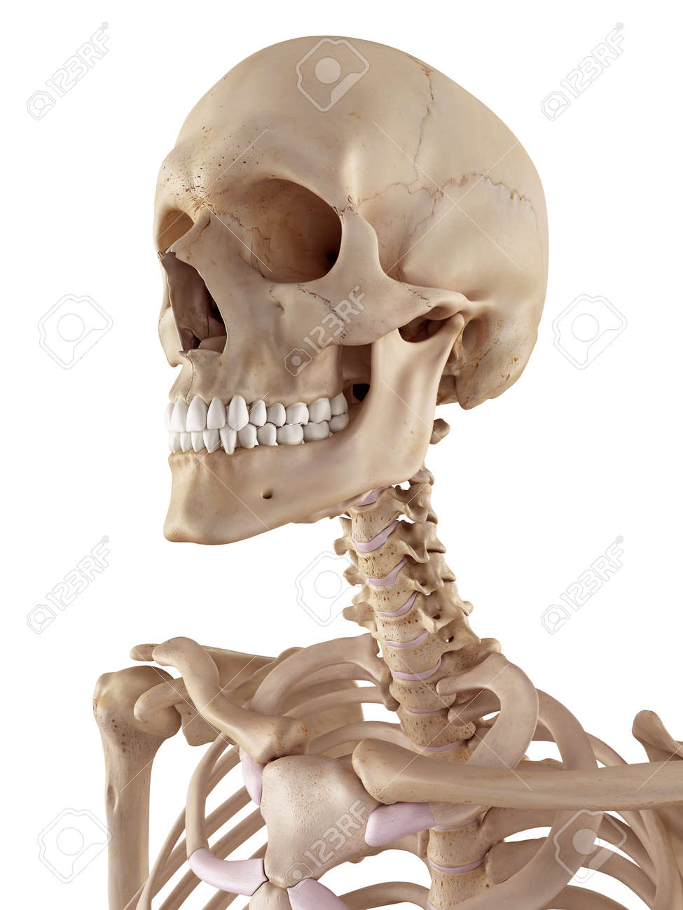 Medical Accurate Illustration Of The Human Skull And Neck Stock ...