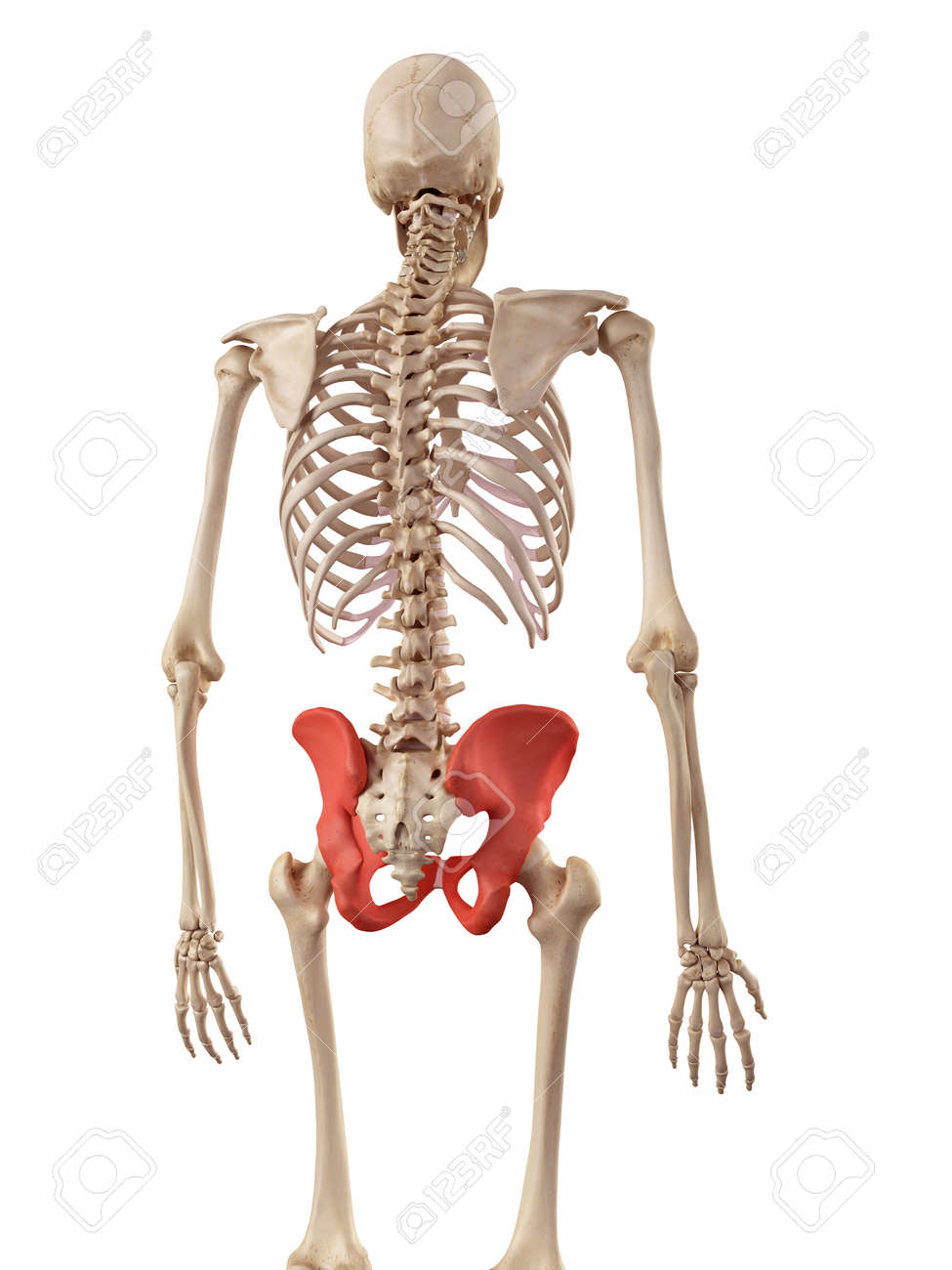 Medical Accurate Illustration Of The Hip Bone Stock Photo Picture