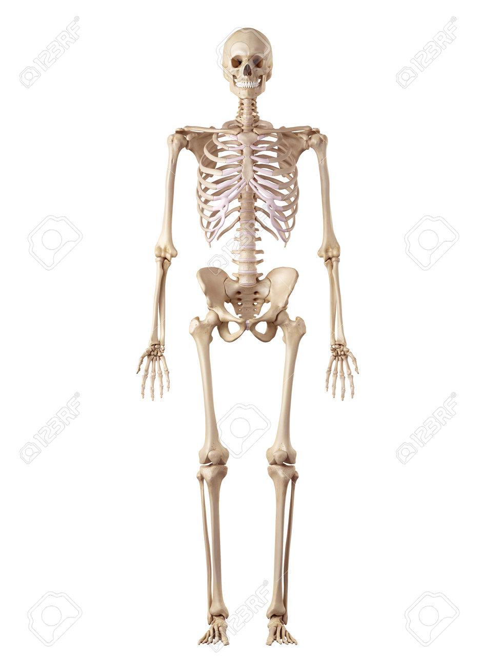 Ilustración Médica Precisa Del Esqueleto Humano Fotos, Retratos ...