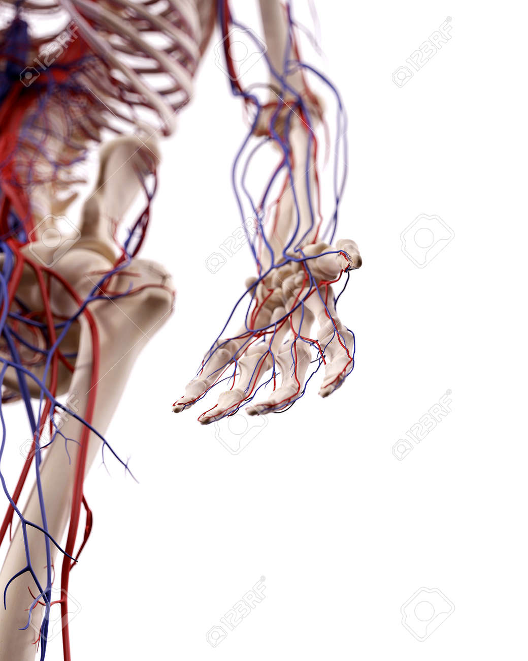 Medical Accurate Illustration Of The Hand Blood Vessels Stock Photo ...
