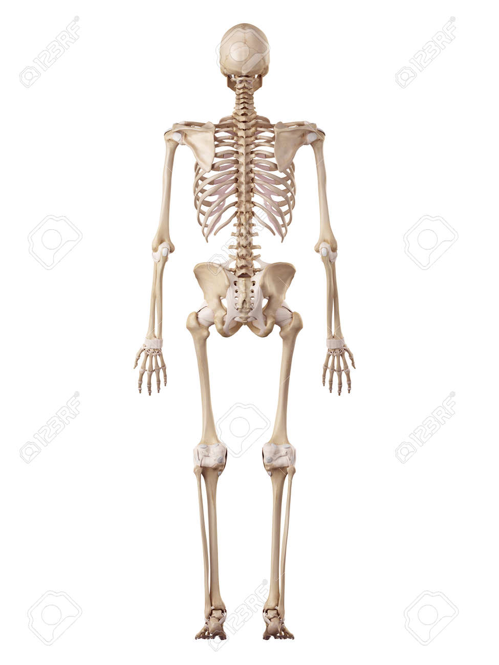 Erfreut Bilder Eines Menschlichen Skeletts Ideen - Physiologie Von ...