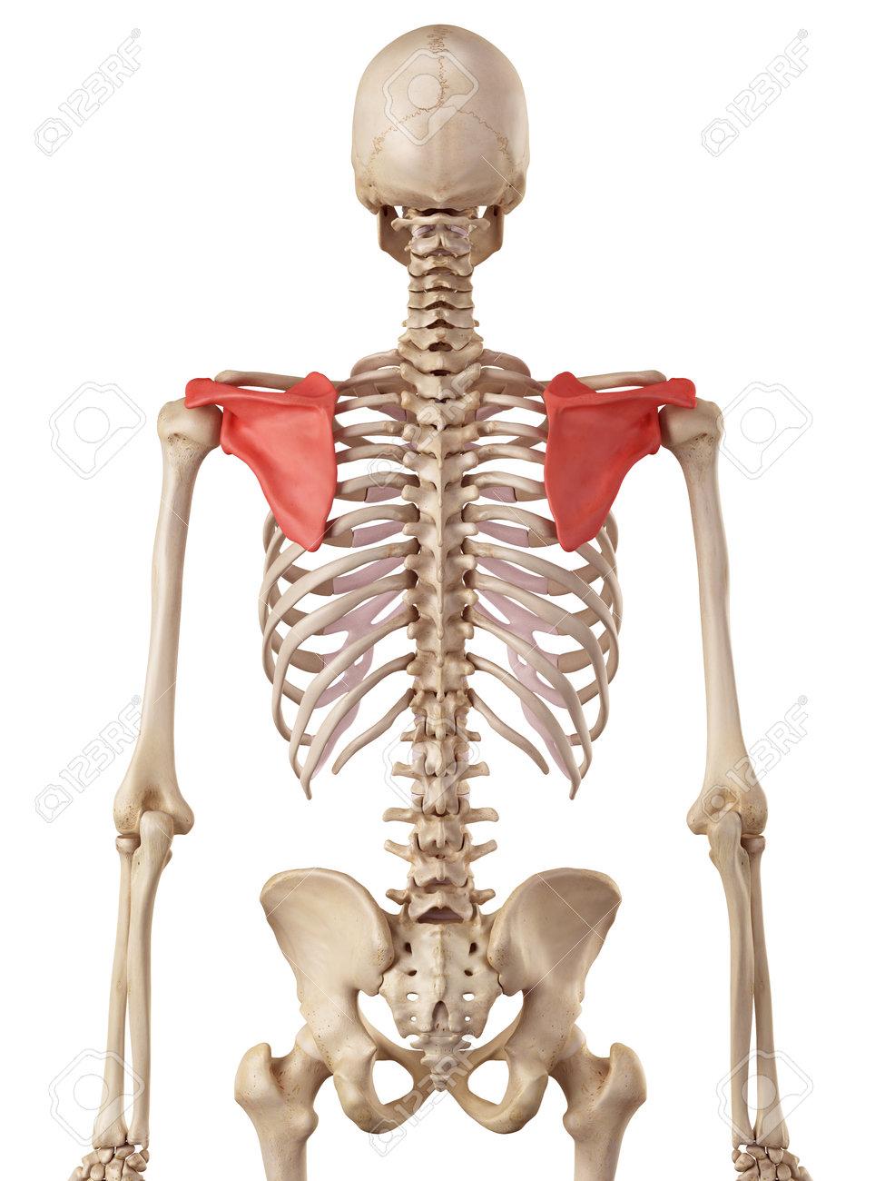肩甲骨の医療の正確なイラスト の写真素材・画像素材 Image 42458921.