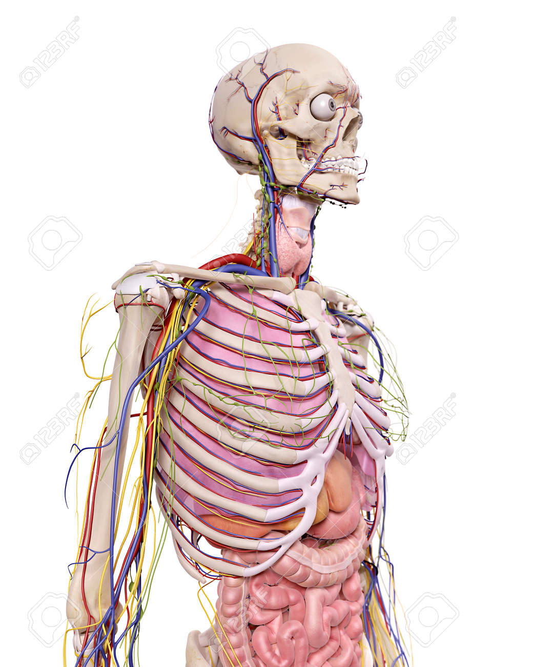 Medical Accurate Illustration Of The Thorax Anatomy Stock Photo