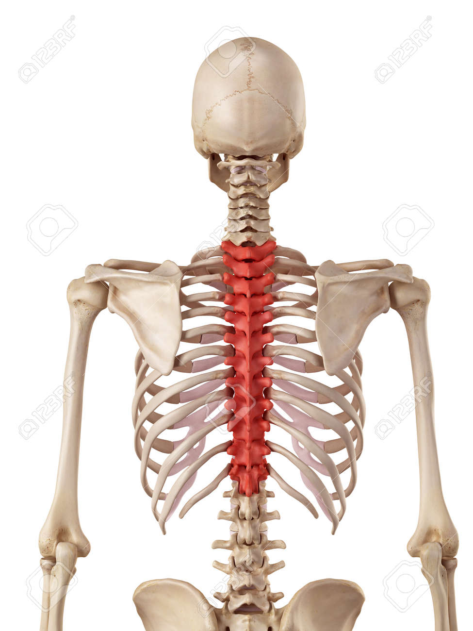 Medical Accurate Illustration Of The Thoracic Spine Stock Photo