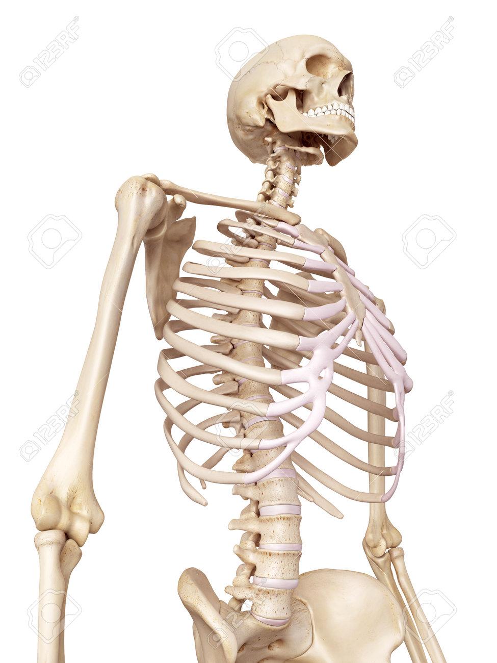 Médicale Illustration Exacte Du Squelette Humain Banque D Images Et ... 6b40a26ebd6