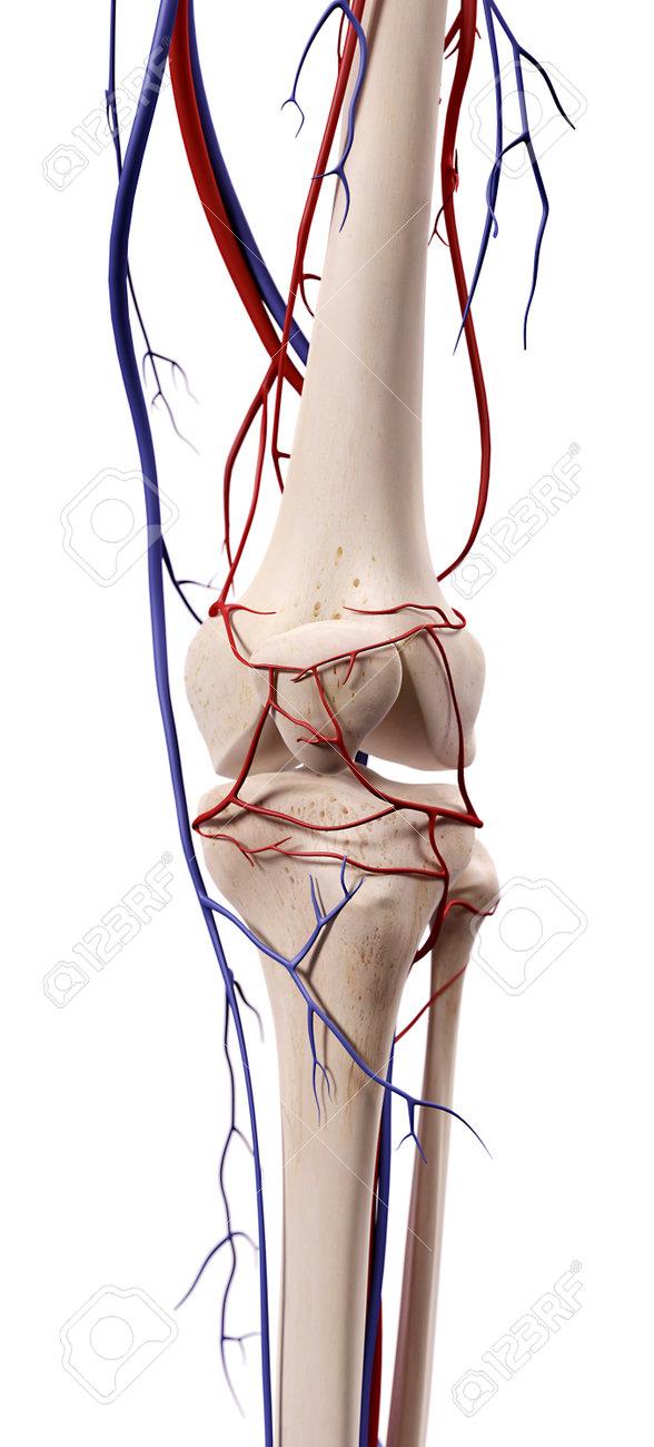 Fein Arm Blutgefäße Anatomie Bilder - Anatomie Von Menschlichen ...