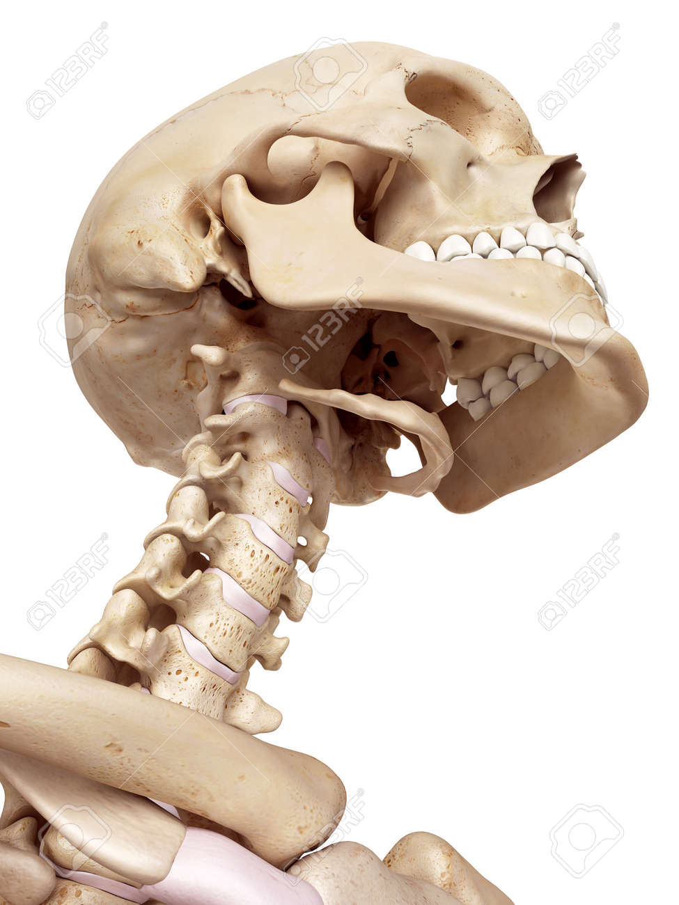 Medical Accurate Illustration Of The Human Skull And Neck Stock