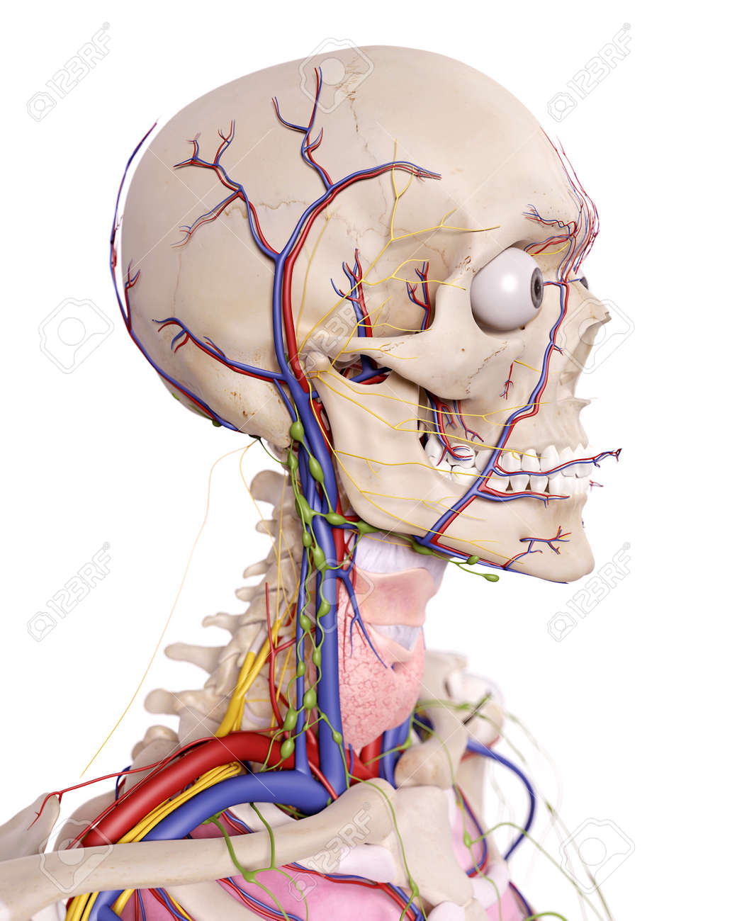 Ilustración Médica Precisa De La Anatomía Cabeza Fotos, Retratos ...