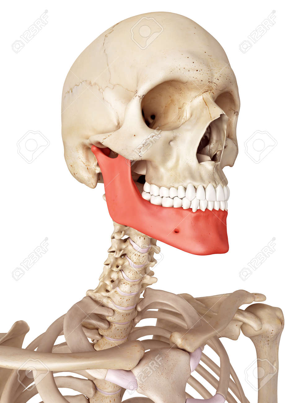 Medical Accurate Illustration Of The Jaw Bone Stock Photo Picture