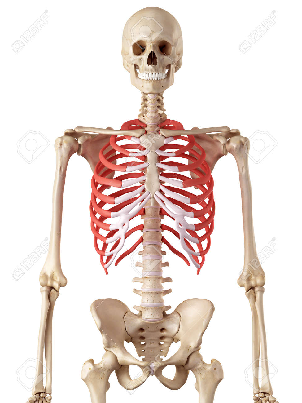 medical accurate illustration of the rib cage stock photo, picture, Skeleton