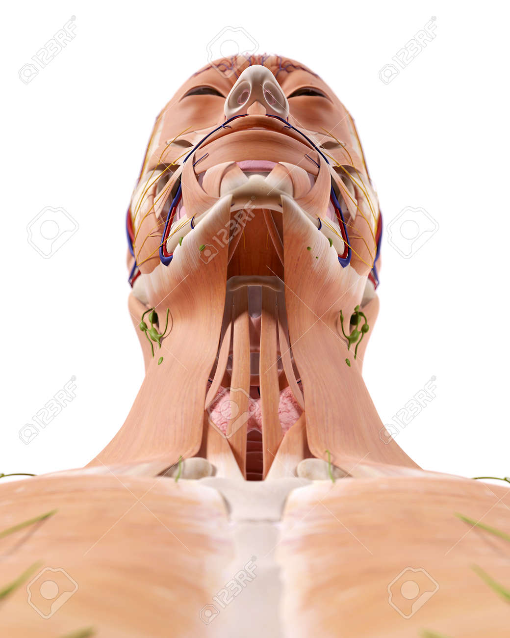 Medically Accurate Illustration Of The Throat Anatomy Stock Photo ...
