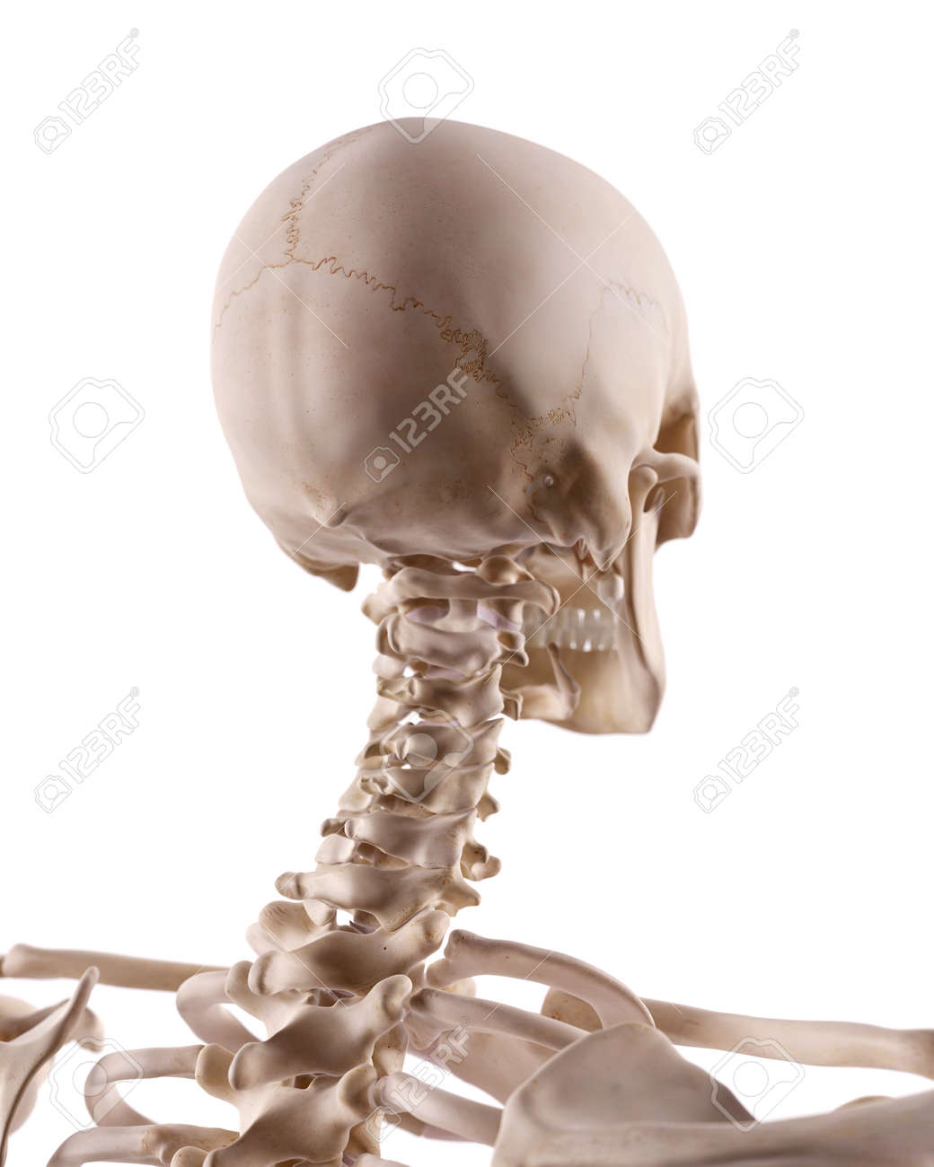 Medically Accurate Illustration Of The Cervical Spine And Skull ...