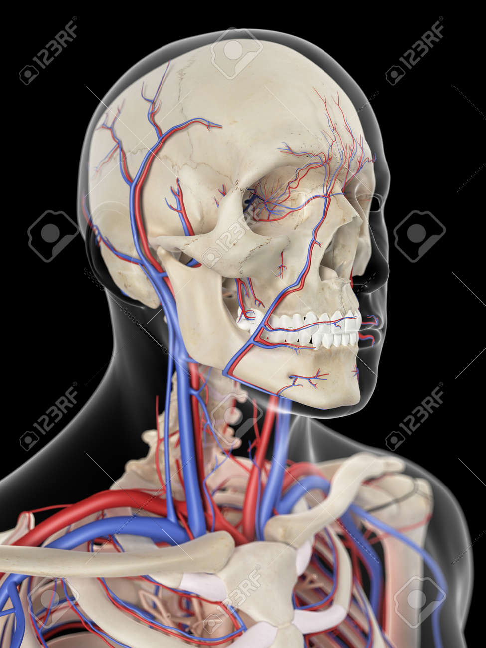 Medically Accurate Illustration Of The Veins And Arteries Of Stock