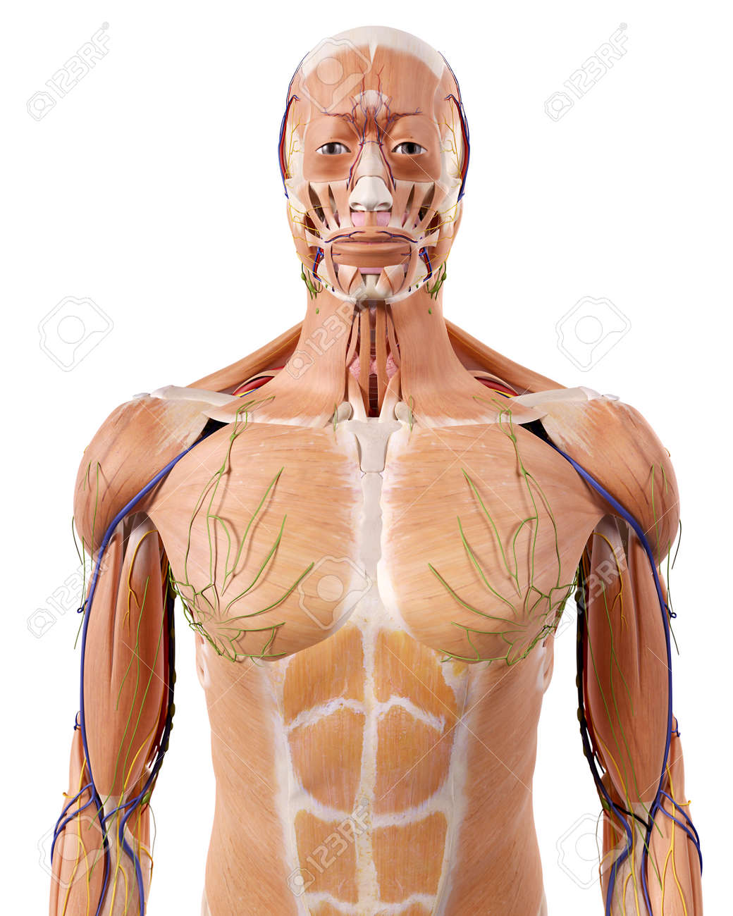 Medically Accurate Illustration Of The Upper Body Anatomy Stock
