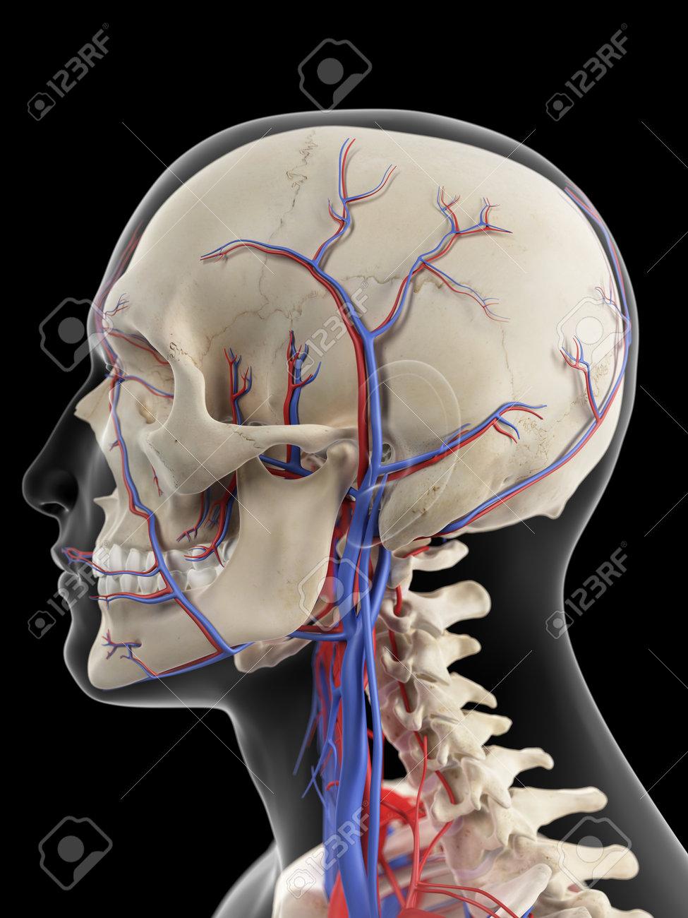 Ilustración Médicamente Exacta De Las Venas Y Arterias De La Cabeza ...