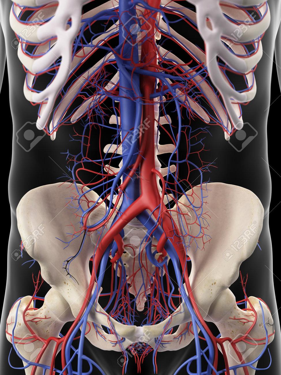 Ilustración Médica Precisa De Las Arterias Y Venas Abdominales Fotos ...