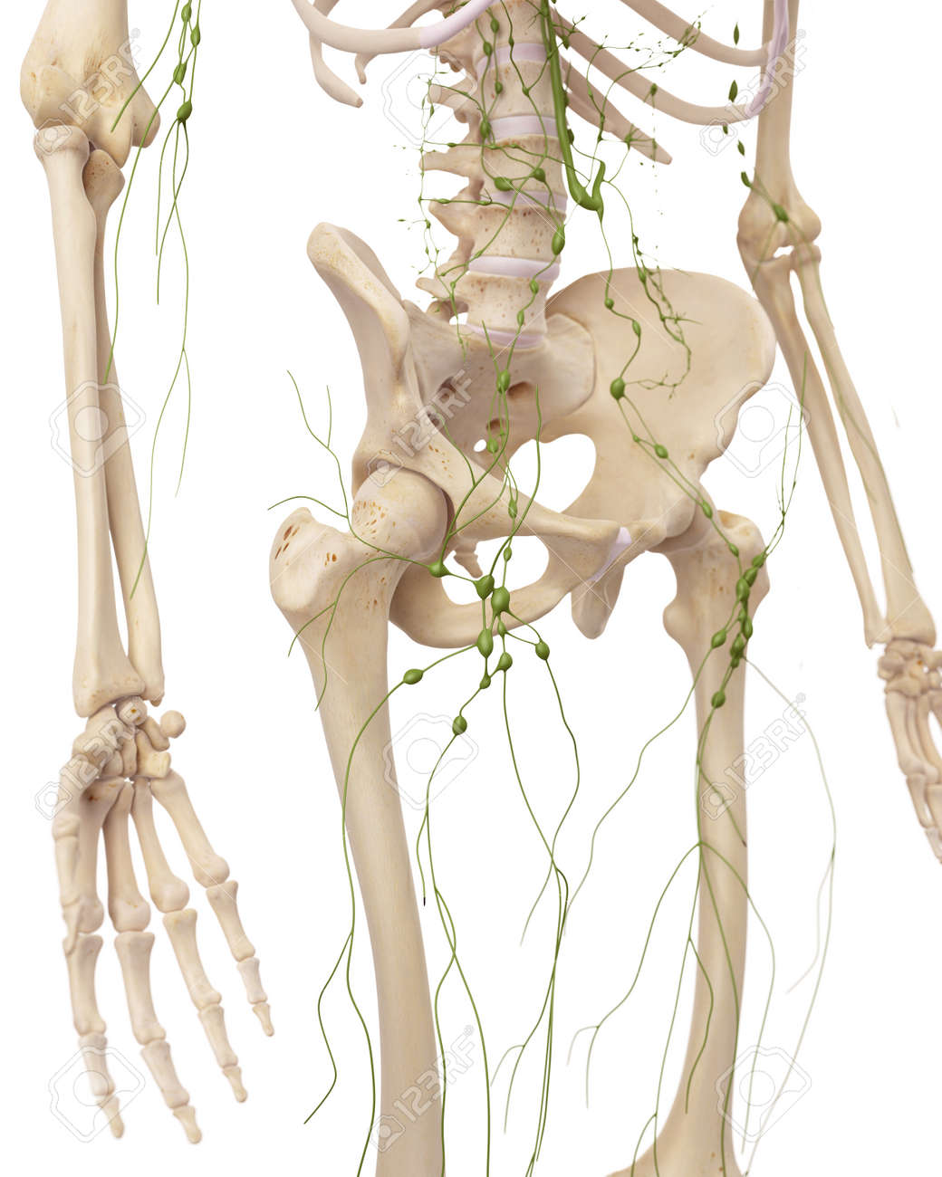 Medically Accurate Illustration Of The Inguinal Lymph Nodes Stock