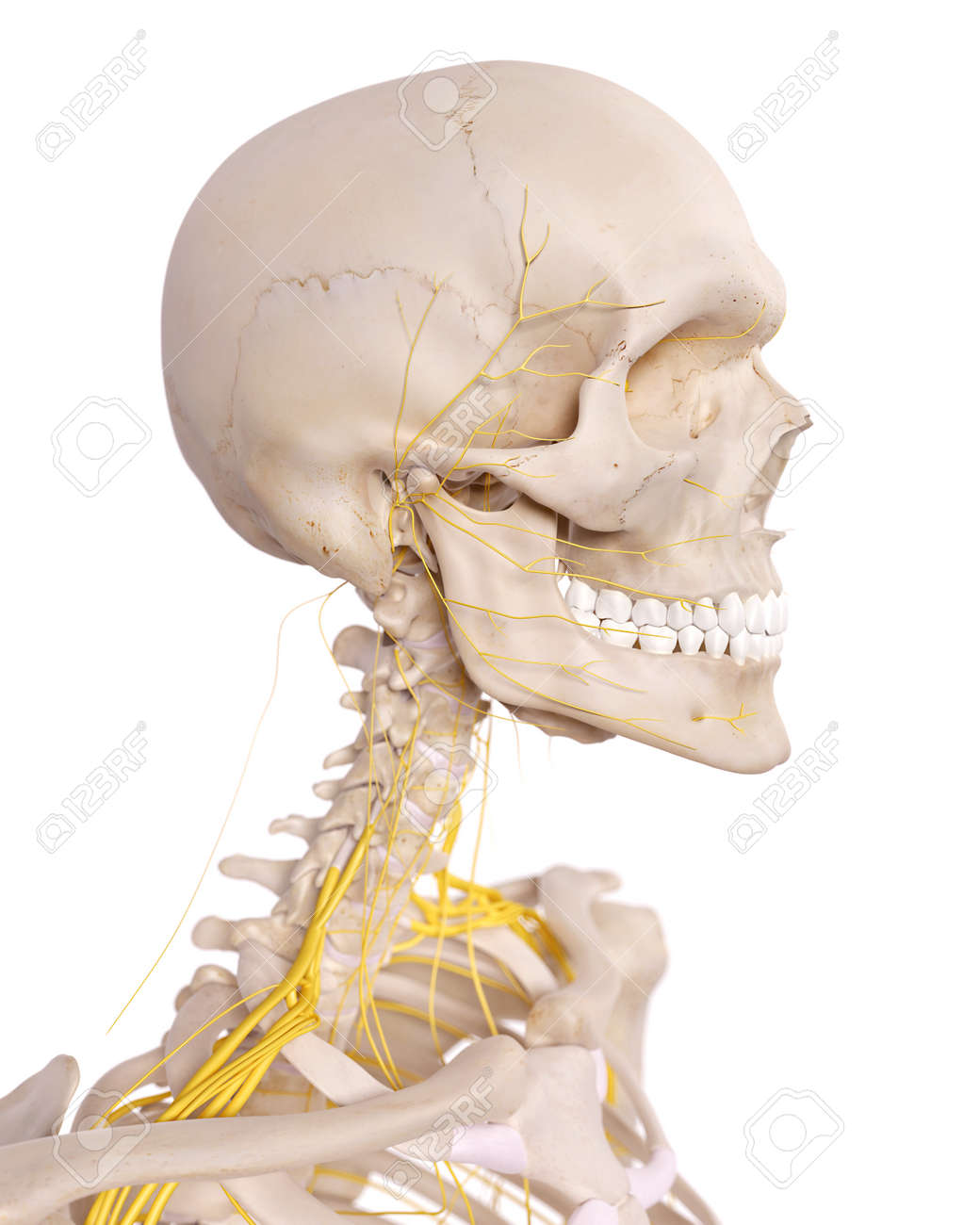Medically Accurate Illustration Of The Cervical Nerves Stock Photo ...