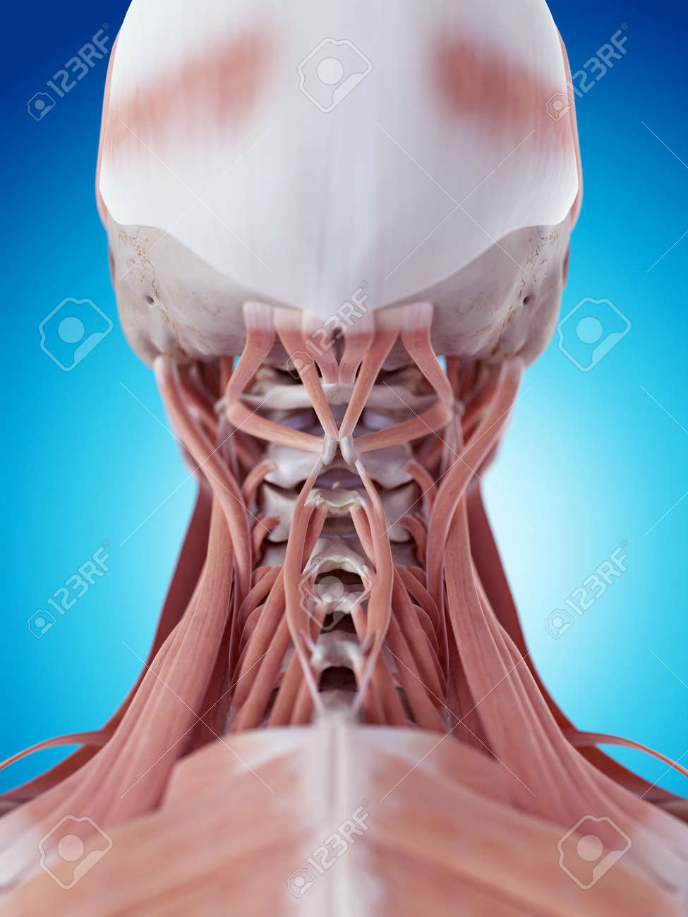 Medically Accurate Illustration Of The Neck Muscles Stock Photo