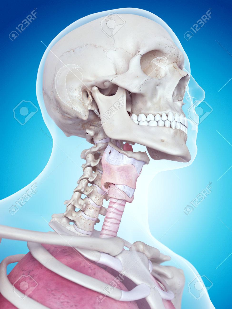 Ilustración Médica Precisa De La Anatomía Laringe Fotos, Retratos ...