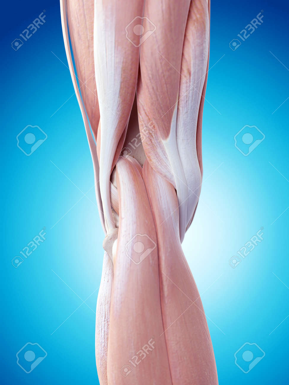 Medically Accurate Illustration Of The Knee Anatomy Stock Photo
