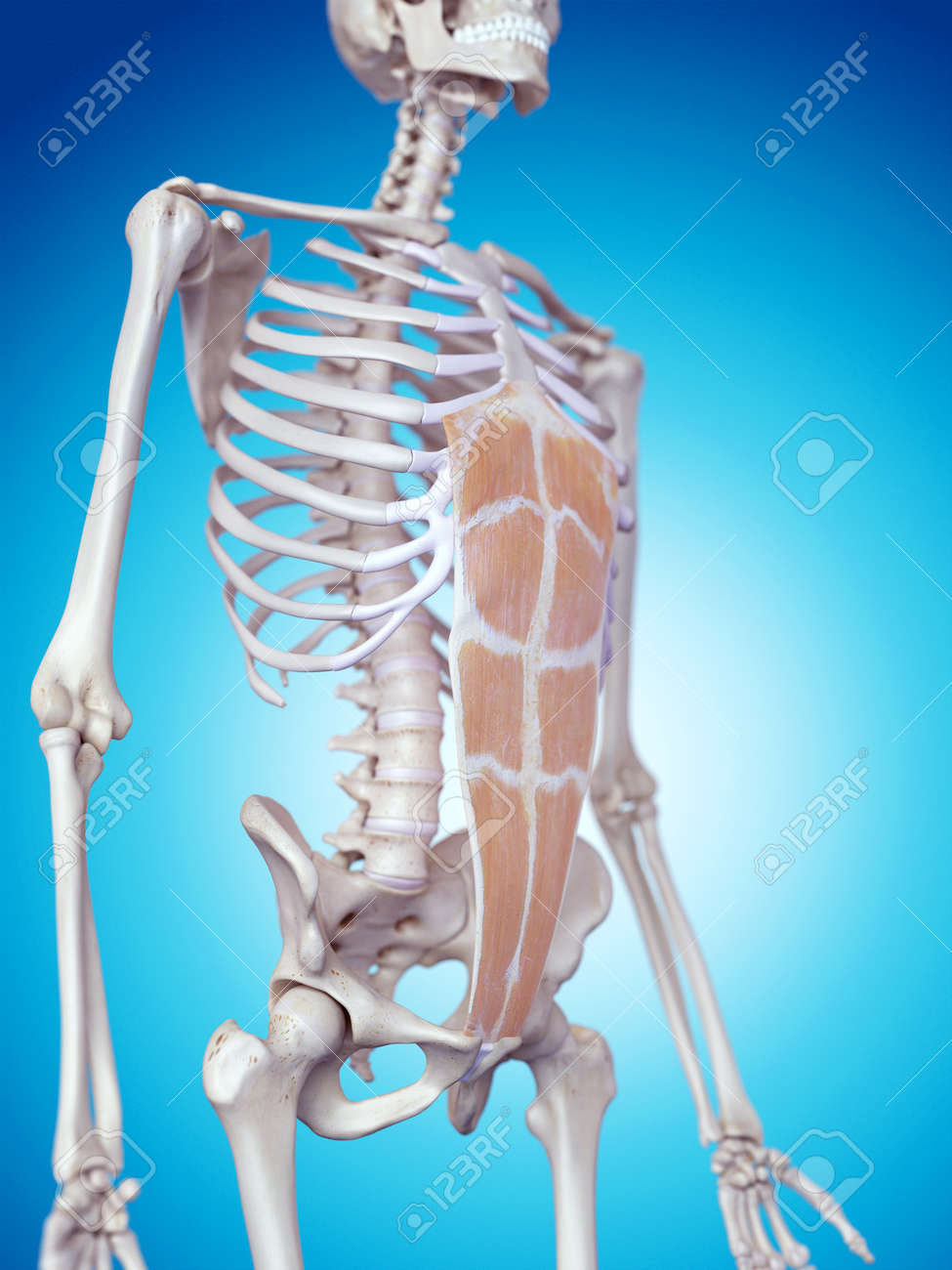 Medically Accurate Illustration Of The Rectus Abdominis Stock Photo