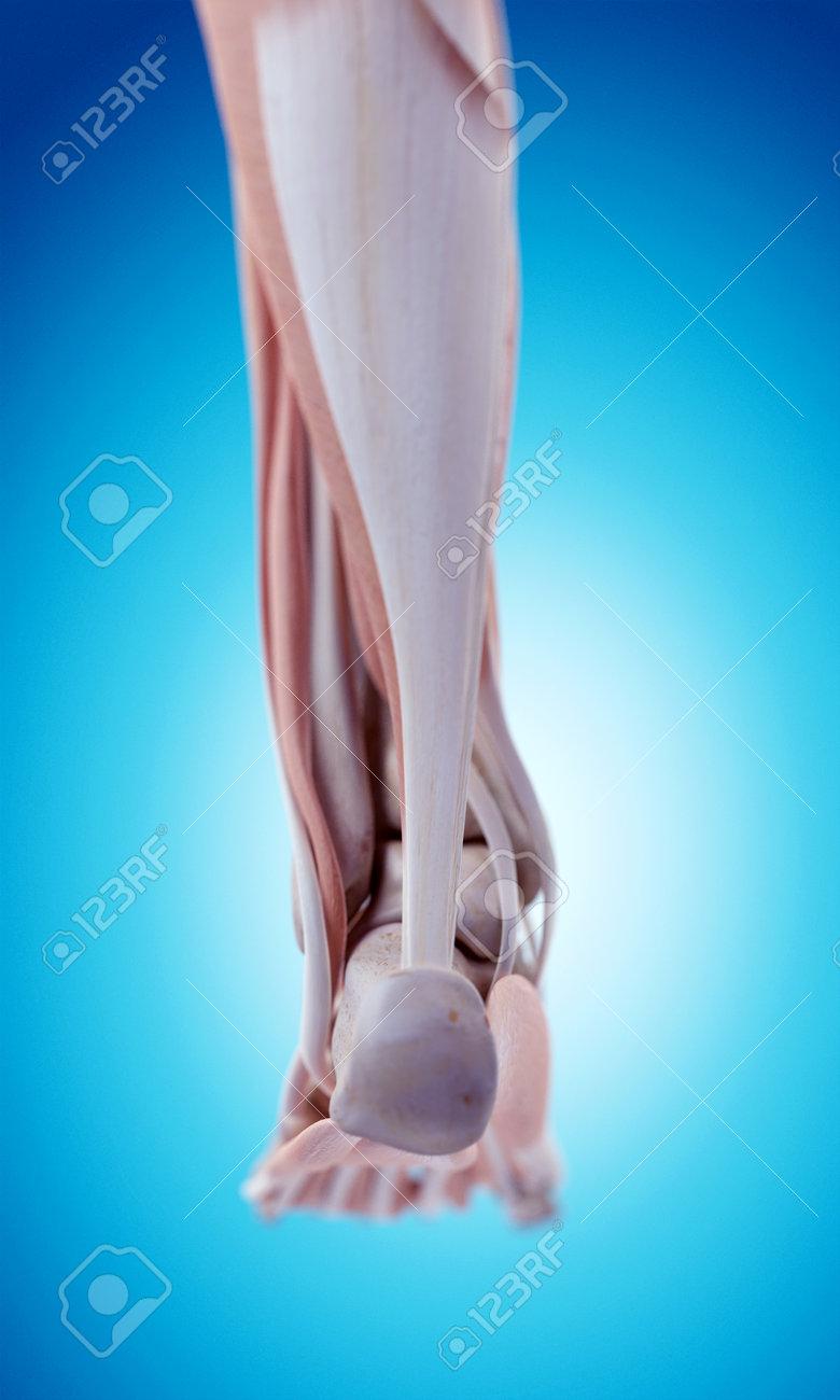 Contemporáneo La Anatomía De Un Pie Modelo - Anatomía de Las ...