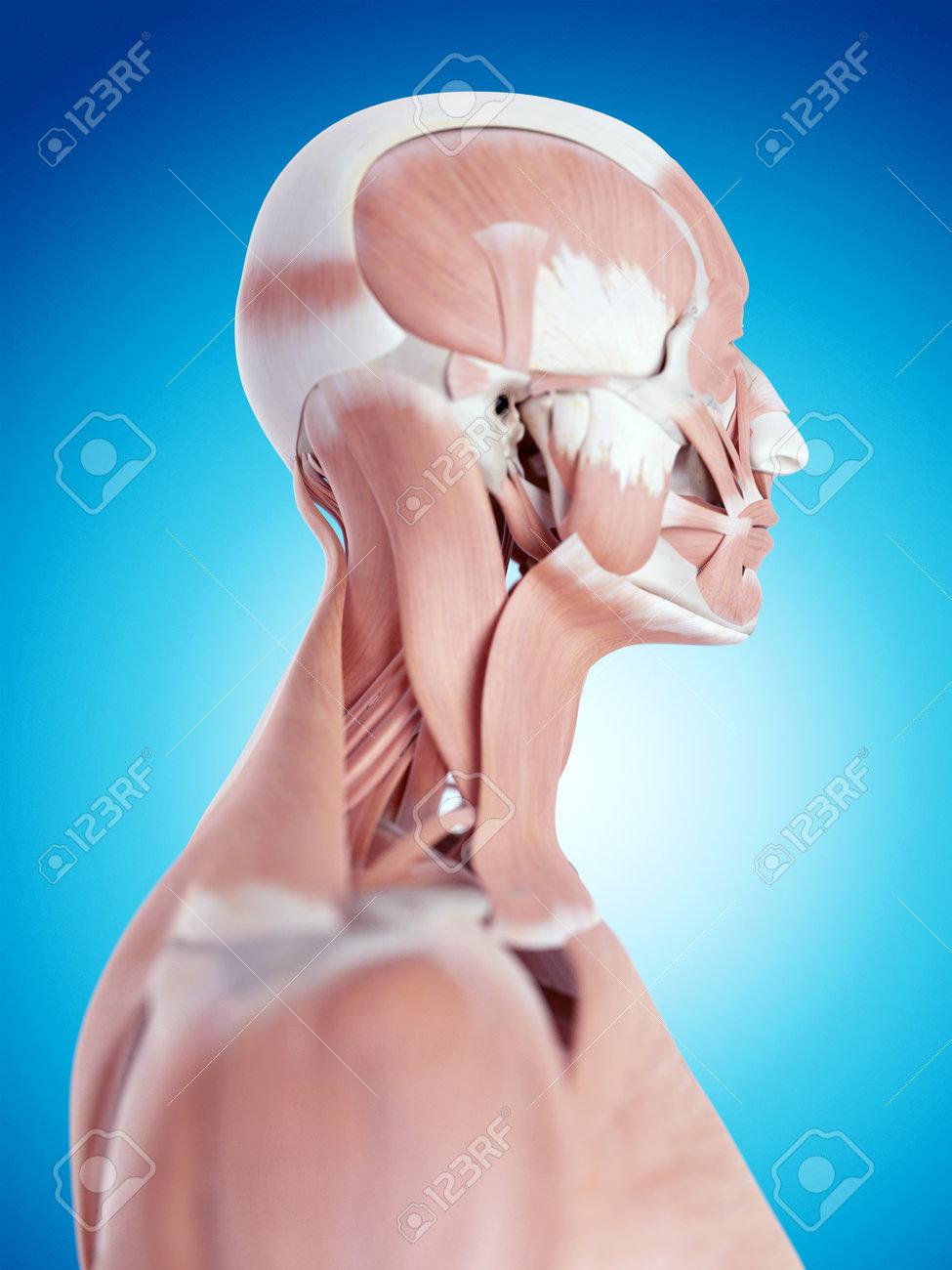 Asombroso Anatomía Del Cuello Y La Garganta Patrón - Anatomía de Las ...