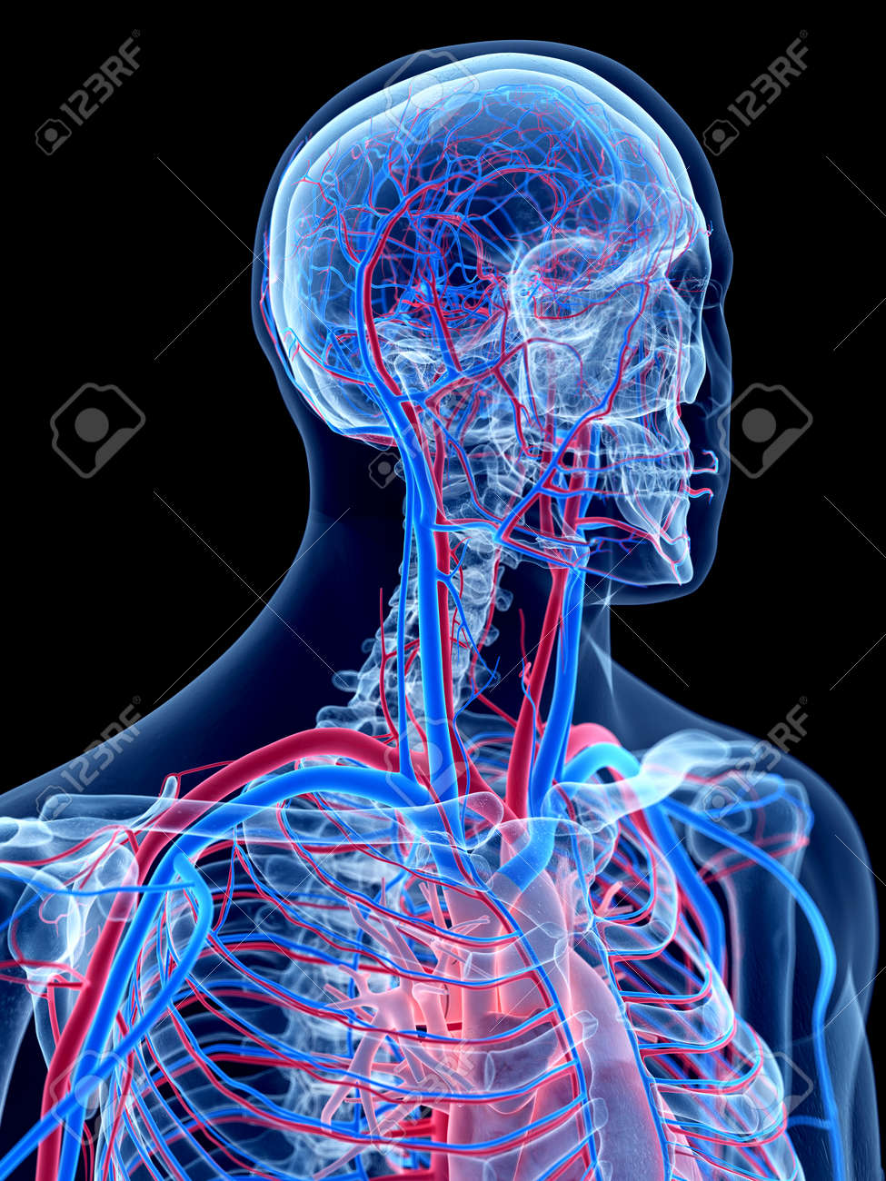 The Human Vascular System - The Neck Stock Photo, Picture And ...