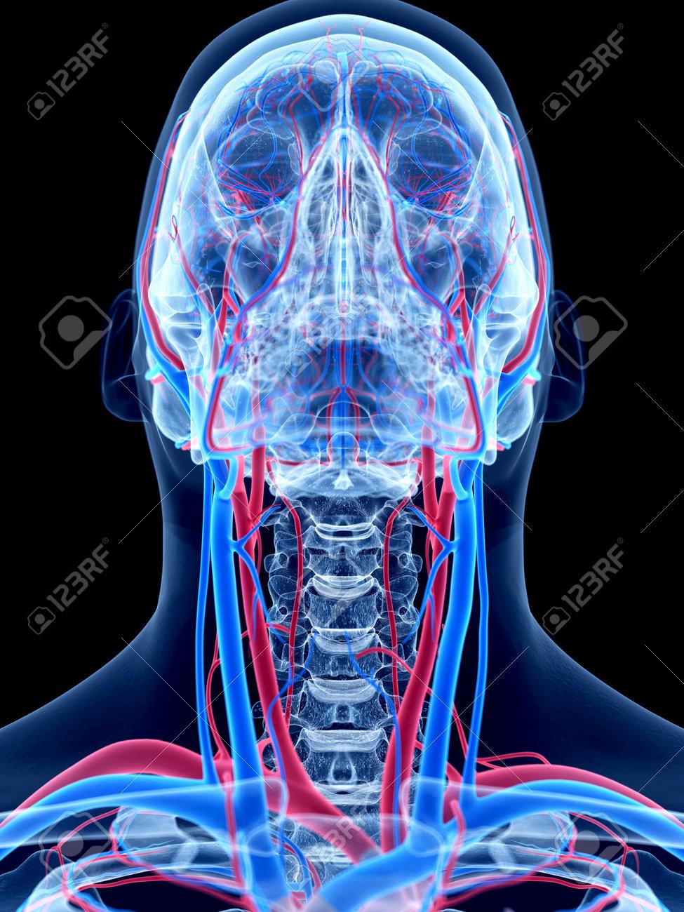 Das Menschliche Gefäßsystem - Die Hals Lizenzfreie Fotos, Bilder Und ...
